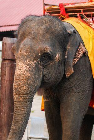 historical: thai elephat around historical park