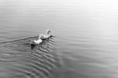 prowl: two duck swimming in the swamp B&W