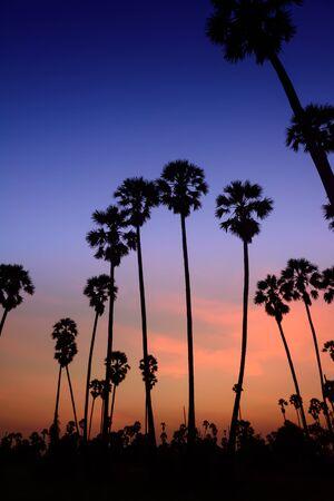 palmyra palm: silhouette palmyra palm tree with twilight background at sunset
