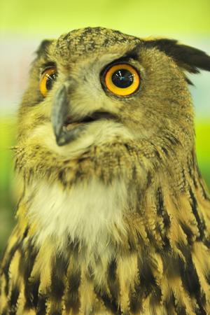 uropean eagle owl photo