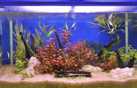 guppy fish: aquarium
