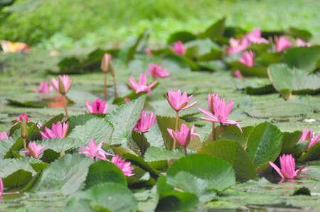 pink lotus on green background photo