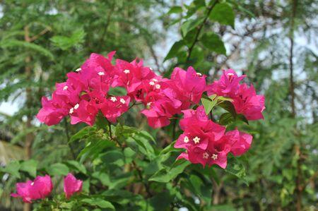 bougainvillea: Bougainvillea