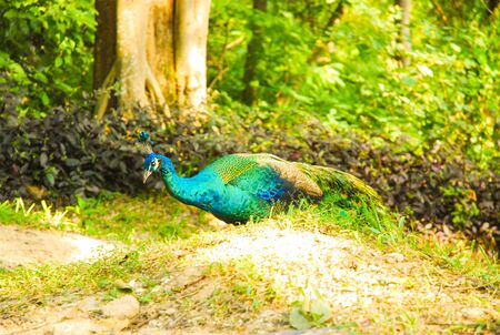 mating: peacock Stock Photo