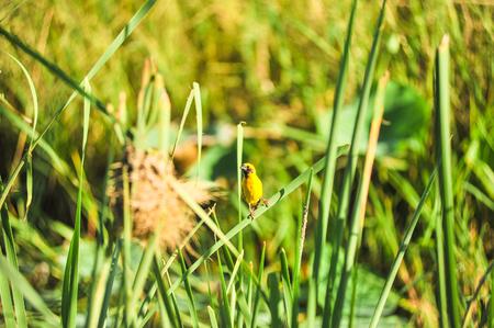 golden: Asian Golden Weaver Stock Photo