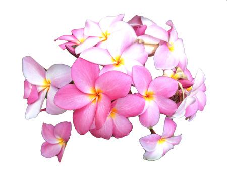 plumeria on a white background: plumeria in isolate white background