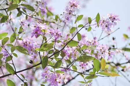 myrtle green: Lagerstroemia Stock Photo