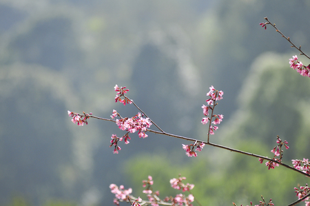Wild Himalayan Cherry in selective focus point