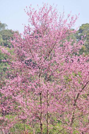 himalayan: Wild Himalayan Cherry in selective focus point