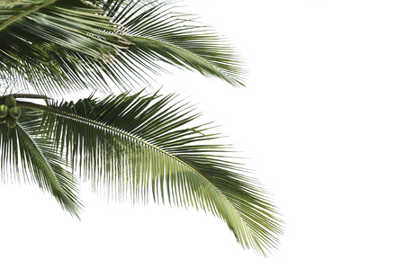 coconut in isolate white background