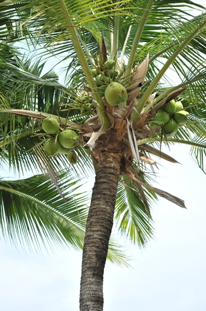 coconutd