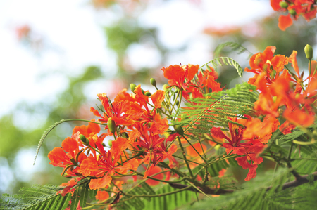 royalpoinciana in selective focus point 写真素材