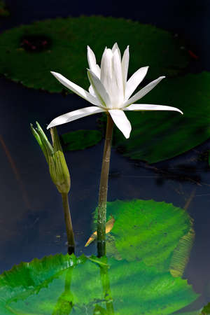 waterlillies: Waterlillies on a tranquil pond, rising above their pad,