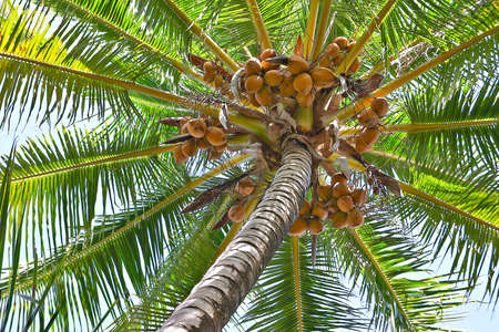 loaded: Looking up on a loaded coconut palm.
