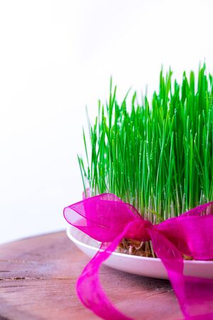 the sprouting: Green Semeni on wooden stump decorated with daffodils and purple ribbon Stock Photo