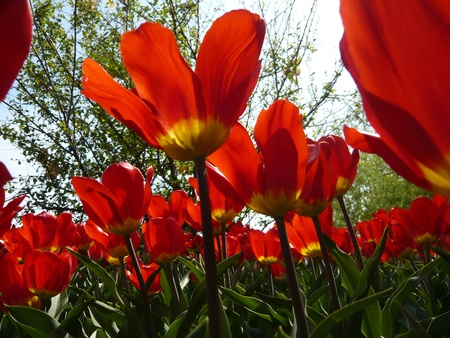 Red tulip  photo