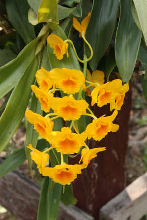 Yellow orchids.
