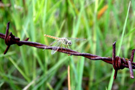 dragonfly barbed wire