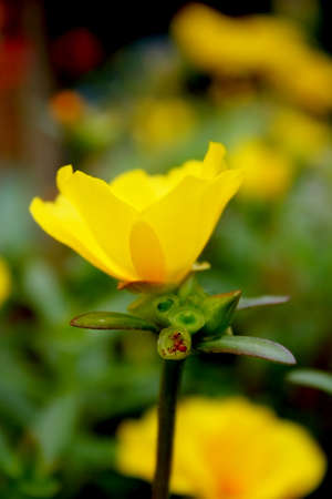 common purslane, purslane, yellow Stock Photo
