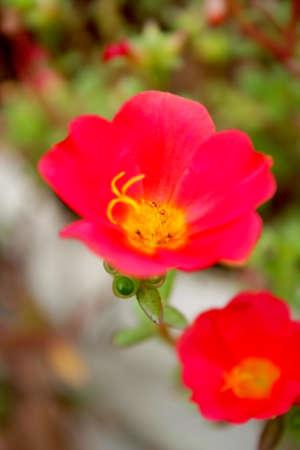 common purslane, verdolaga,red