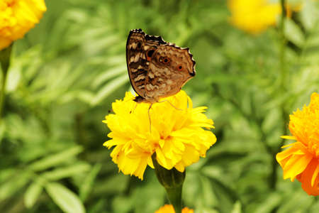marigold and butterfly Stock Photo