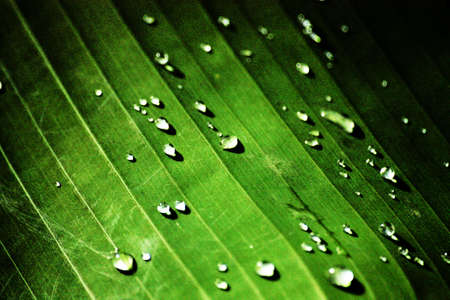 drops of rain on  banan leaf