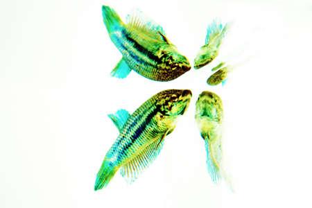 betta splendens, siamese  fighting  fish