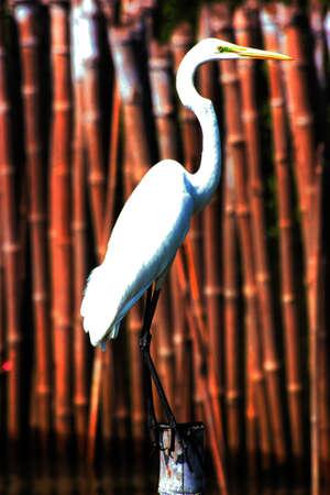 great egret ,casmerodius albus  Stock Photo
