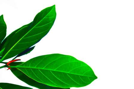 Jackfruit leaf Stock Photo