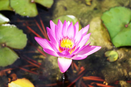 purple lotus flower Stock Photo