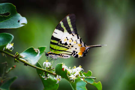 fivebar swordtail , graphium antiphates