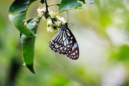 dark blue tiger ,nymphalidae ,tirumala septentrionis Stock Photo