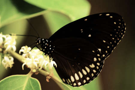 common indian crow ,euploea core godartii zucas  Stock Photo