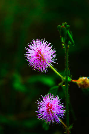 Mimosa pudica Flower-head Stock Photo