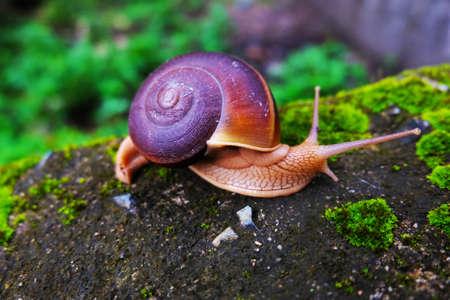 siam snail Hemiplecta distincta