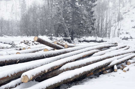tree felling:  Carpathians ,tree felling Stock Photo