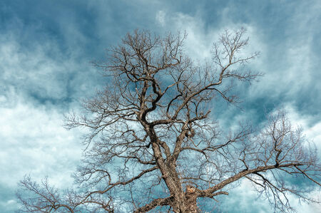 Crown of oak branches without leaves on a background of blue sky with clouds photo