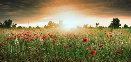 Crimean peninsula, wild grass of the field in the steppe zone of the Old Crimea, flowering poppy field
