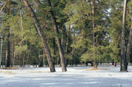 vicinity: Winter forest in the vicinity of the resort area of the Holy Mountain, Ukraine, City Svjatogorsk