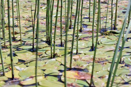 plantas acuaticas: Lagos regi�n anegados con plantas de agua en el agua Foto de archivo