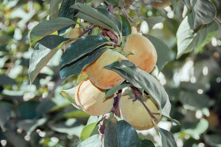 matures: persimmon fruit matures on the tree in autumn