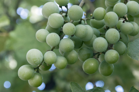 Vines, bunches of white grapes in the foreground Stock Photo