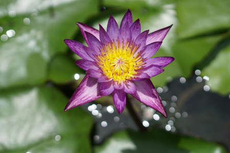 Purple lotus in ancient pond, flowers in Thailand.