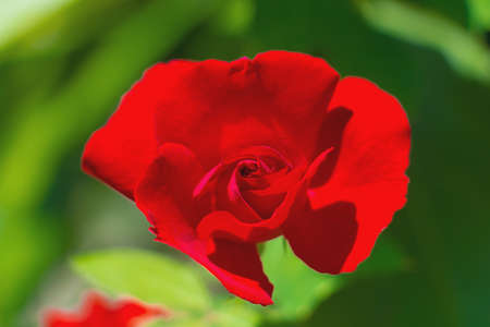 red rose bokeh: picture of red rose bokeh on green leave