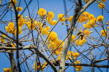 yellow blossom: yellow blossom tree on blue sky