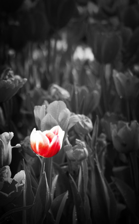 red tulip: black and white style tulip flower, red tulip flower Stock Photo