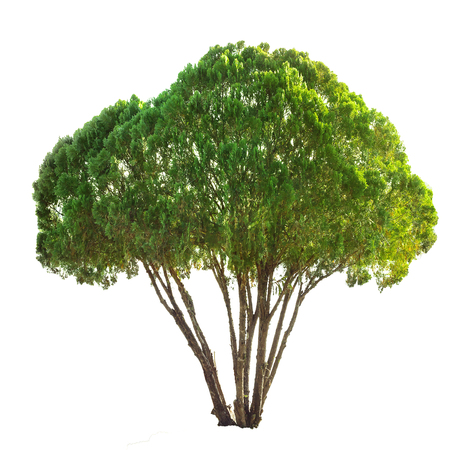 enebro: juniper pine tree isolated on white with clipping path