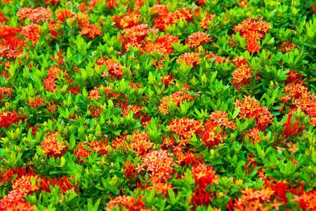 Red Ixora coccinea photo