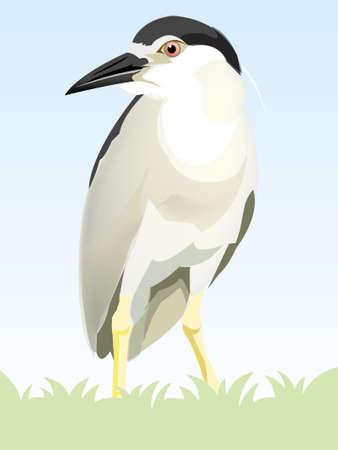 Black-crowned Night-Heron photo