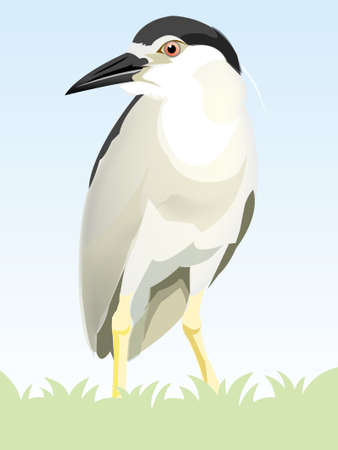 ornithologist: Black-crowned Night-Heron